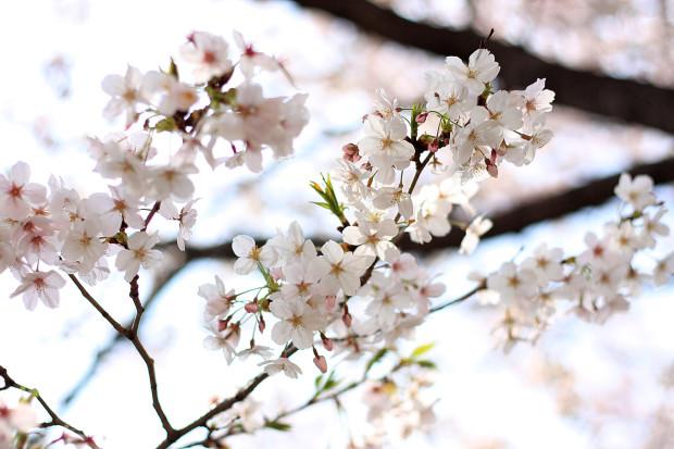 桜|短焦点030
