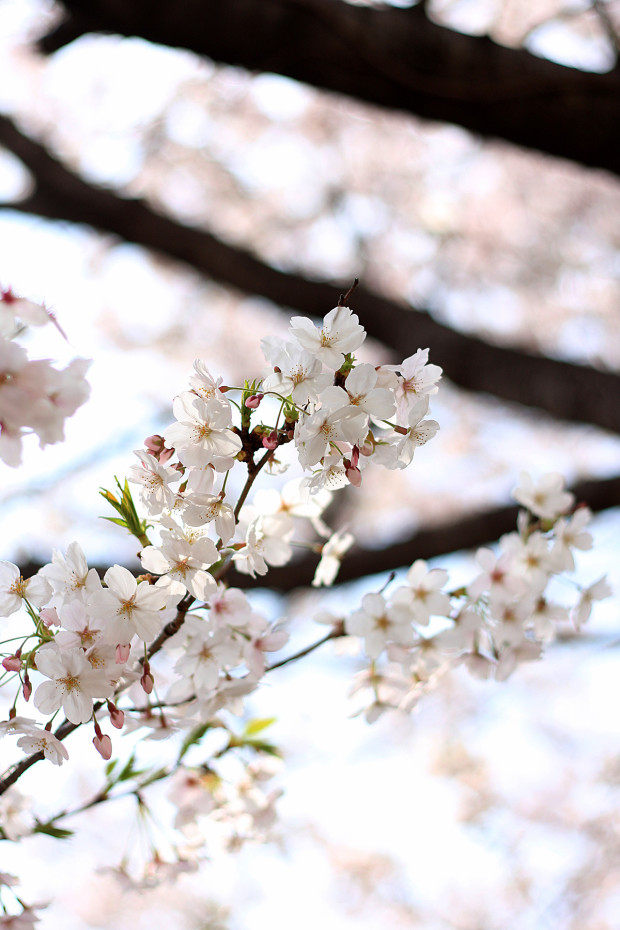 桜|短焦点032
