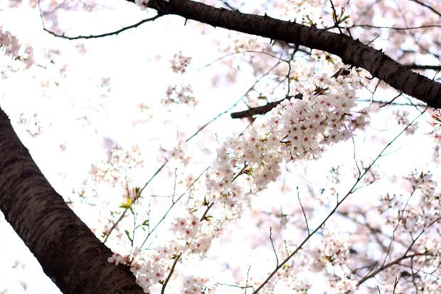 桜|短焦点033