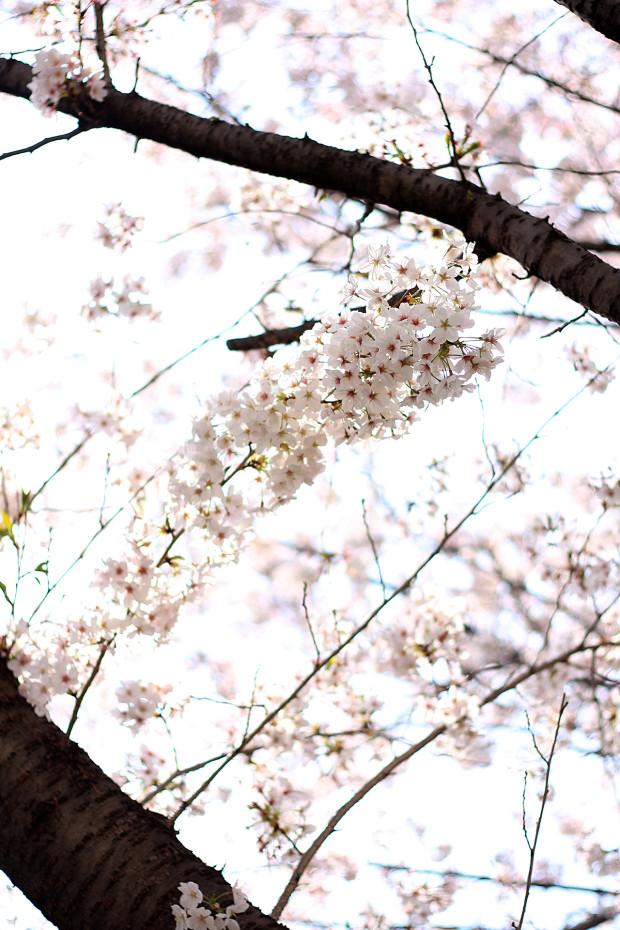 桜|短焦点034