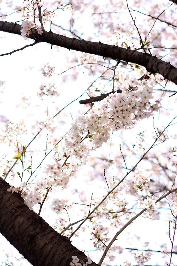 桜|短焦点035