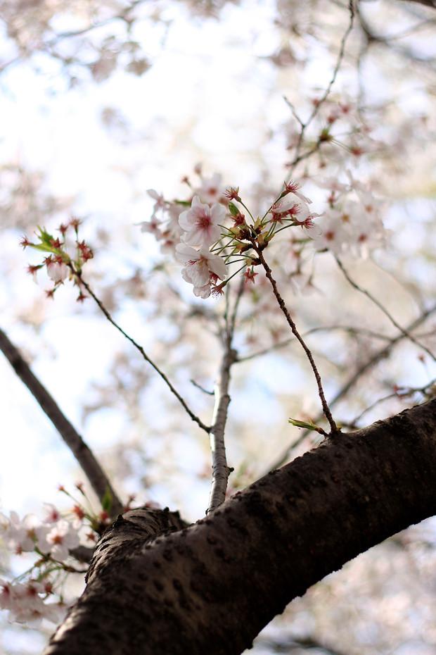 桜|短焦点037